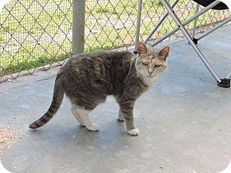 Domestic Shorthair Cat for adoption in Washington, Georgia - Tabitha