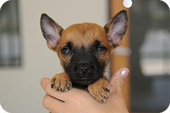 German Shepherd Dog/Labrador Retriever Mix Puppy for adoption in Agoura Hills, California - Tiny