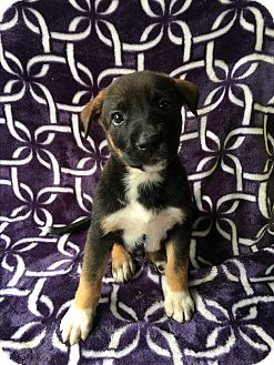 German Shepherd Dog/Anatolian Shepherd Mix Puppy for adoption in Carson, California - PLUTO