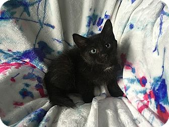 Domestic Shorthair Kitten for adoption in Tampa, Florida - Helga