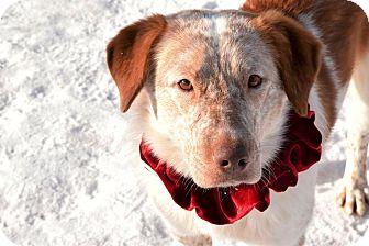 Anatolian Shepherd/Australian Cattle Dog Mix Dog for adoption in Meridian, Idaho - Jasper