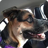 Adopt A Pet :: Dozer - Westminster, MD