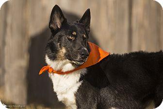Border Collie/German Shepherd Dog Mix Dog for adoption in Manhattan, Kansas - Radar- adoption pending