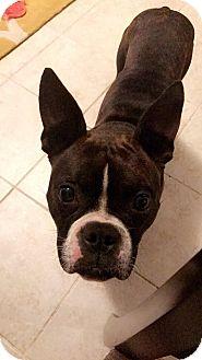 Boston Terrier Mix Dog for adoption in Gainesville, Florida - Sassy