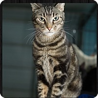 Domestic Shorthair Cat for adoption in Fallbrook, California - Dweazel