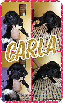 Labrador Retriever/Mixed Breed (Large) Mix Puppy for adoption in Sumter, South Carolina - Carla