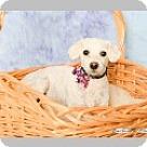 Adopt A Pet :: Shirley Temple