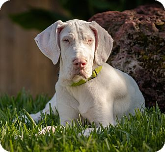 Great Dane Puppy for adoption in Lubbock, Texas - Sawyer