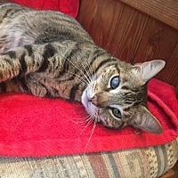 Bengal Cat for adoption in Cincinnati, Ohio - NOLA Murray