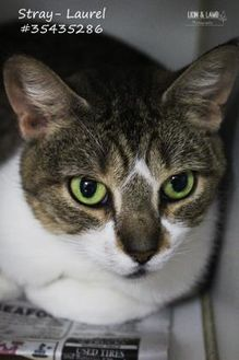 Domestic Shorthair/Domestic Shorthair Mix Cat for adoption in Wilkes Barre, Pennsylvania - Laurel - Stray