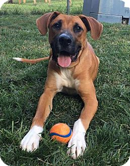 Boxer Mix Puppy for adoption in Overland Park, Kansas - Major