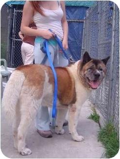 Akita Dog for adoption in Freeport, New York - Bandit