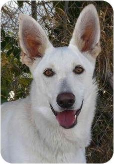 German Shepherd Dog Puppy for adoption in Los Angeles, California - Sadie von Gardiner