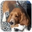 Photo 1 - Basset Hound Dog for adoption in Phoenix, Arizona - Nutmeg