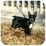 Photo 2 - Boston Terrier Dog for adoption in Muldrow, Oklahoma - Bruno
