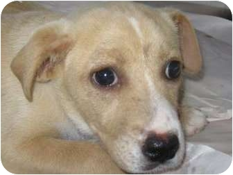 Labrador Retriever Mix Puppy for adoption in Tallahassee, Florida - Sandy