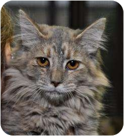 Domestic Shorthair Kitten for adoption in Sonoma, California - Lacy