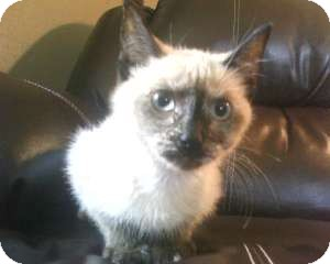 Siamese Kitten for adoption in Webster, Minnesota - China