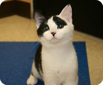 American Shorthair Cat for adoption in Foster, Rhode Island - Dancer