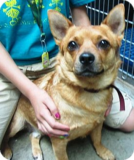 Corgi Mix Dog for adoption in Castro Valley, California - Jacob