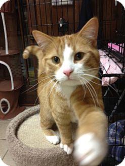 Domestic Shorthair Cat for adoption in Byron Center, Michigan - Heath