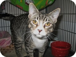 Domestic Shorthair Kitten for adoption in Shelton, Washington - Montana