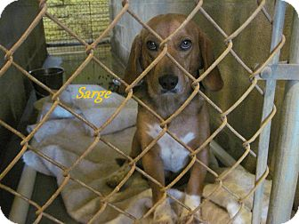 Beagle/Basset Hound Mix Dog for adoption in Linden, Tennessee - Sarge