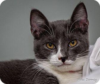 Domestic Shorthair Cat for adoption in Westminster, California - Tygra