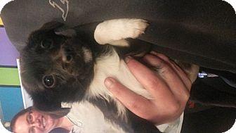 Chihuahua/Shih Tzu Mix Puppy for adoption in Prestonsburg, Kentucky - mistletoe