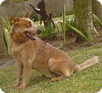 Australian Cattle Dog Mix Dog for adoption in Port St. Joe, Florida - Cowboy