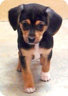 Beagle/Chihuahua Mix Puppy for adoption in Oswego, Illinois - I'M ADOPTED Kirby Pearson :)