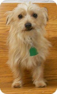 Yorkie, Yorkshire Terrier/Terrier (Unknown Type, Small) Mix Puppy for adoption in Huntsville, Alabama - Cracker Jack