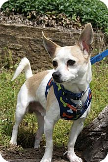 Chihuahua Dog for adoption in Parkville, Missouri - Andre