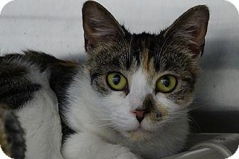 Calico Cat for adoption in Elyria, Ohio - Cali