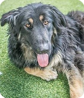 Shepherd (Unknown Type) Mix Dog for adoption in Truckee, California - Layla