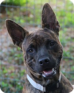 Pit Bull Terrier Mix Dog for adoption in O Fallon, Illinois - Pax
