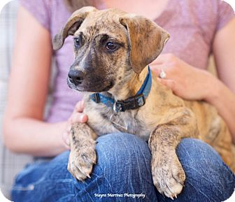 Catahoula Leopard Dog/Black Mouth Cur Mix Puppy for adoption in Knoxville, Tennessee - Duke