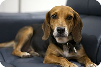 Beagle Mix Dog for adoption in Houston, Texas - Lucy
