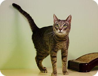 Domestic Shorthair Cat for adoption in Murphysboro, Illinois - Wyatt