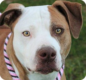 American Pit Bull Terrier Mix Dog for adoption in Red Bluff, California - MONA-Low Fees, Spa/Chipped