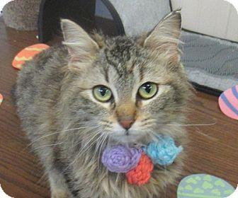 Domestic Longhair Kitten for adoption in Lloydminster, Alberta - Waffles