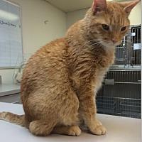 Adopt A Pet :: Niko - Hallandale, FL