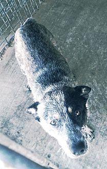 Blue Heeler Mix Dog for adoption in Odessa, Texas - Rex