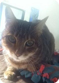 Bengal Cat for adoption in Sedona, Arizona - Buster