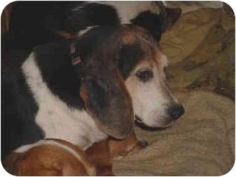 Beagle Dog for adoption in Waldorf, Maryland - Amadeo Modigliani