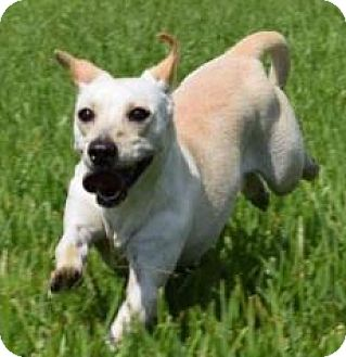 Chihuahua/Jack Russell Terrier Mix Dog for adoption in Boston, Massachusetts - A - LADYBIRD