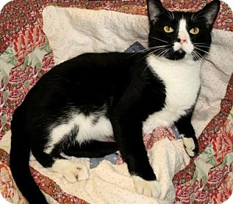 Domestic Shorthair Cat for adoption in Bradenton, Florida - Jessie