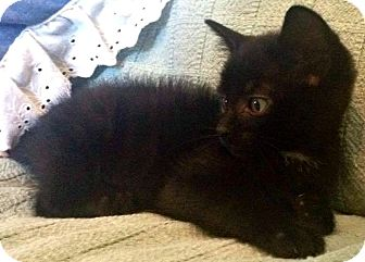 Domestic Shorthair Kitten for adoption in Jefferson, North Carolina - Midnight