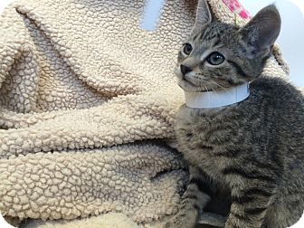 Domestic Shorthair Kitten for adoption in University Park, Illinois - Augustus Gloop