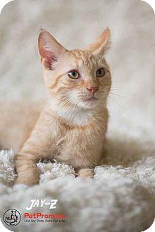 Domestic Shorthair Kitten for adoption in Columbus, Ohio - Jay Z